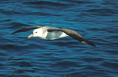 Juvenile Black-browed Albatross. Copyright: John Graham