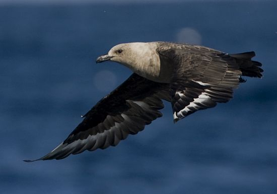 South Polar Skua © Trevor Hardaker