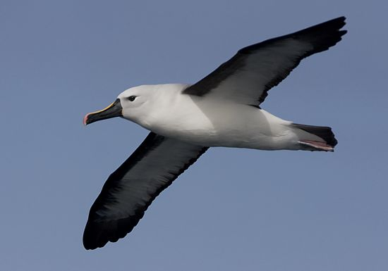 Indian Yellow-nosed Albatross © Trevor Hardaker